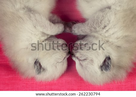 Two adorable newborn siamese kittens on pink blanket - stock photo