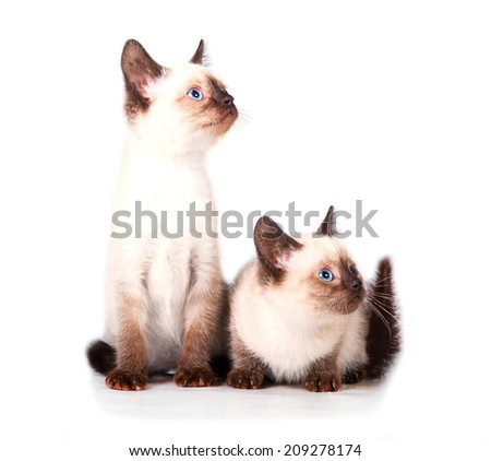 Two adorable siamese kittens - stock photo
