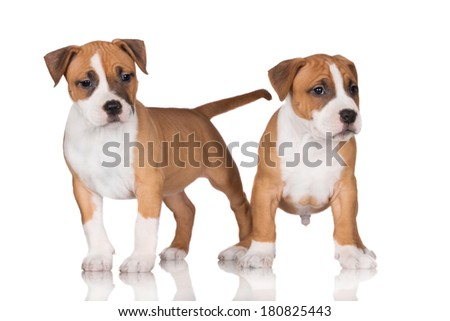 two adorable staffordshire terrier puppies