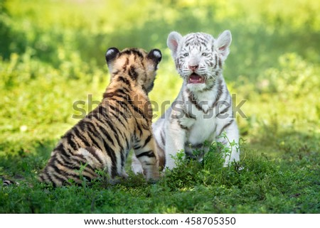 two adorable tiger cubs outdoors - stock photo