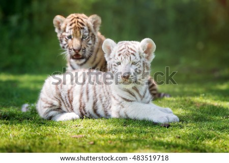 two adorable tigers cubs outdoors