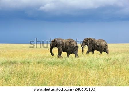 Two adult african elephants in savannah, Serengeti, Tanzania - stock photo