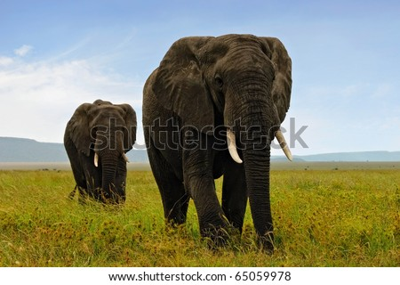 Two adult african elephants walking in savannah - stock photo