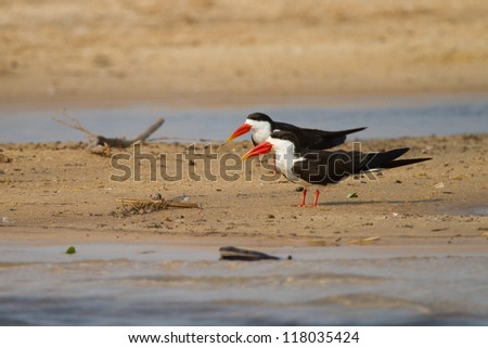 Two adult African skimmers sitting on a sand bank next to the Zambezi River - stock photo