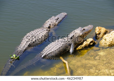 Two Adult Alligators Basking in the Sun at Everglades National Park