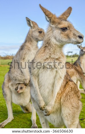 Two adult Australian red kangaroos watching with a joey looking on from its pouch - stock photo
