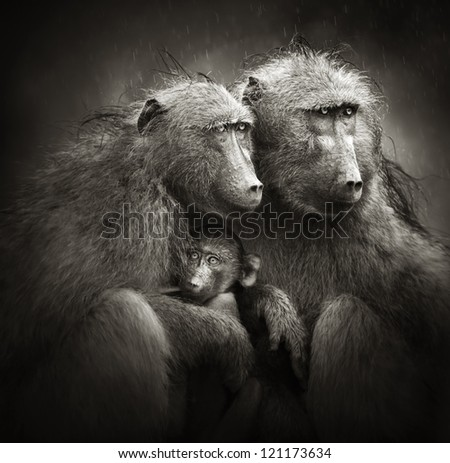 Two adult baboons protecting an infant from rain (Artistic processing) - stock photo