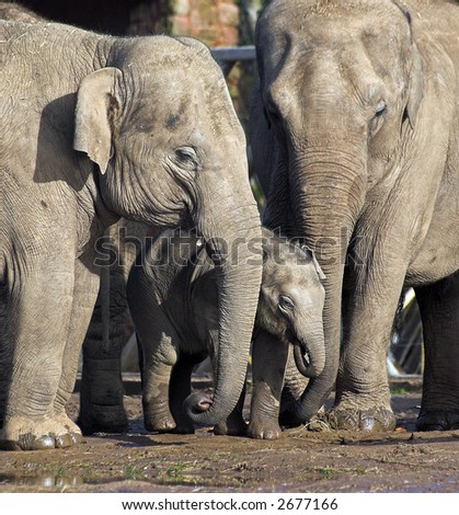 Two adult elephants protecting a newborn baby elephant - stock photo