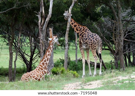 Two adult giraffes.