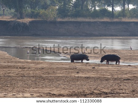 Two adult male hippo's square off in a territorial display, South Luangwa National Park, Zambia. This is a typical scene taken on one of the parks walking safari's. - stock photo