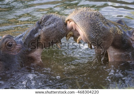 Two adult male hippopotamus fighting in the water