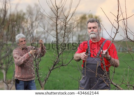 Two adult men pruning tree in orchard selective focus on face