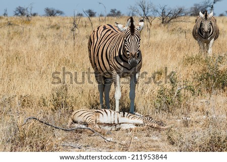 Two adult zebra and one baby resting. Getting protection from mother. Namibia Etosha Africa. - stock photo