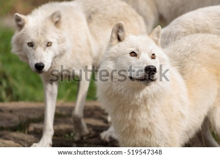 two adults arctic wolves.