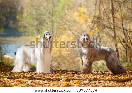 two afghan hounds posing on autumn park - stock photo