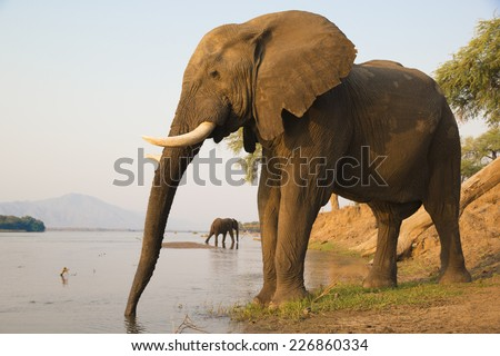 Two African Elephant bulls quenching their thirst on the Zambezi river at sunset - stock photo