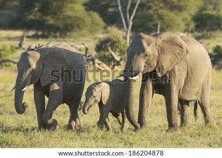 Two African Elephant females and a baby eating while walking together - stock photo