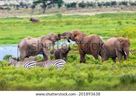 Two African Elephants greet each other with their trunks in Amboseli National Park, Kenya - stock photo