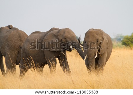 Two African elephants play fighting in tall grass - stock photo