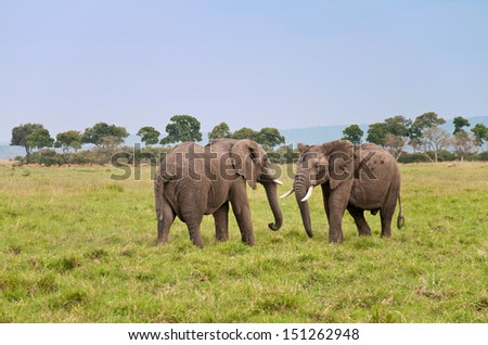 two african elephants ready to fight - national park  masai mara in kenya - stock photo