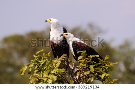 Two African fish eagles perched at the top of a tree - stock photo