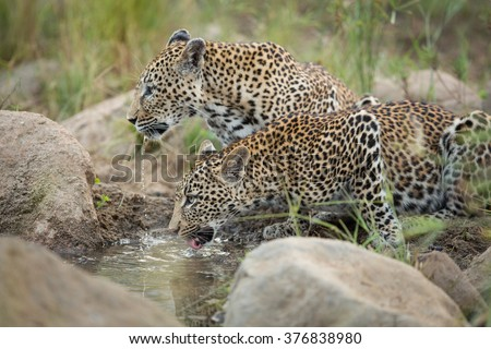 Two african leopards drinking at water's edge in Kruger Park South Africa - stock photo