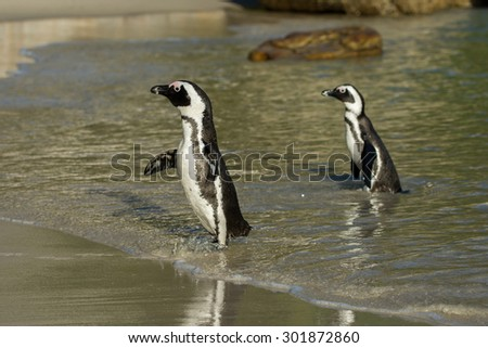 Two African penguins along the shoreline of Boulder's Beach near Cape Town, South Africa. - stock photo
