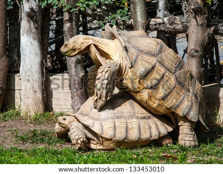 Two African Soft Shell Turtles mating - stock photo