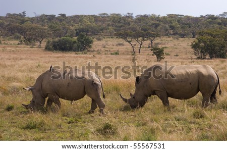 Two african white rhinoceros grazing - stock photo