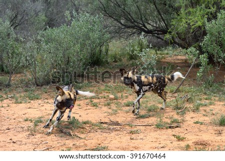 Two African Wild Dog in bush, Namibia - stock photo