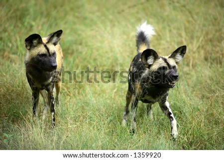Two african wild dogs (Lycaon Pictus) in the african bushveld. - stock photo