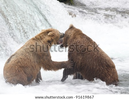 Two Alaskan brown bears fight at Brooks Falls in Katmai National Park
