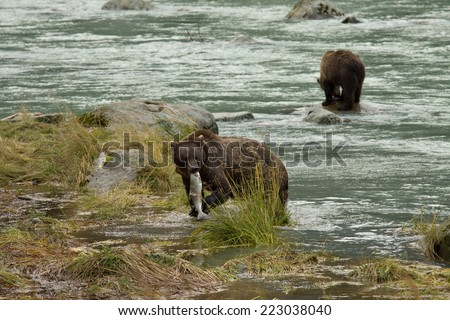 Two Alaskan Brown Bearx fishing for salmon in Chilkoot River, Haines, Alaska. One has radio collar. - stock photo