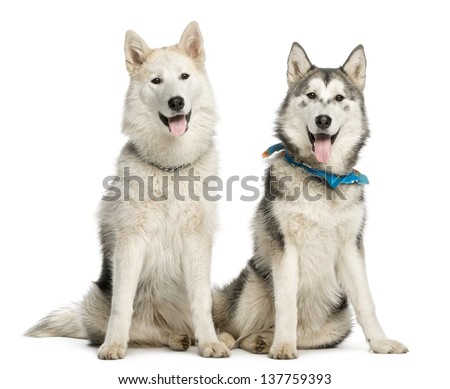 Two Alaskan Malamut, sitting and panting, isolated on white