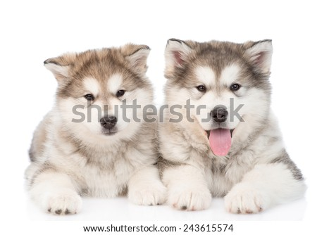 two alaskan malamute puppies. isolated on white background - stock photo