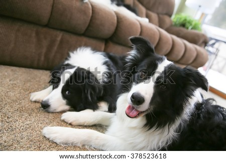 Two alert Border Collies laying together looking up  - stock photo