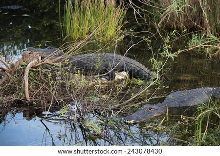 Two alligators at the Everglades National Park, FL, USA - stock photo