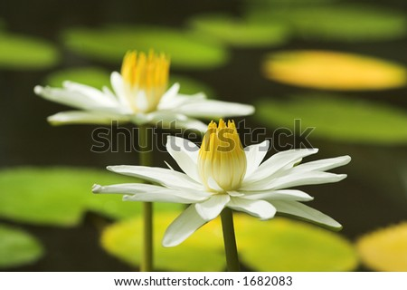 Two almost identical white water lilies in a pond - stock photo