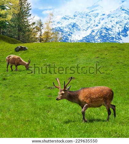 Two alpine ibex grazing on the mountain pasture in Chamonix - stock photo