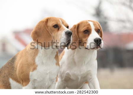 Two amazing beagles in winter garden together
