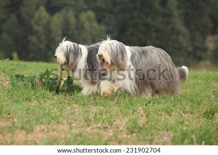 Two amazing bearded collies running together in summer - stock photo