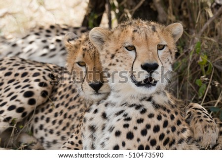 Two amazing  cheetah in Masai Mara National Park