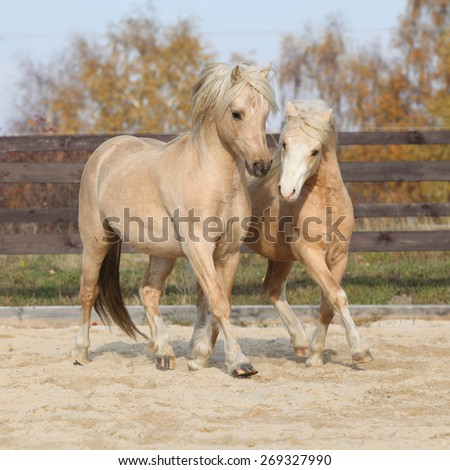 Two amazing palomino stallions playing together in autumn, welsh mountain pony and welsh pony of cob type - stock photo