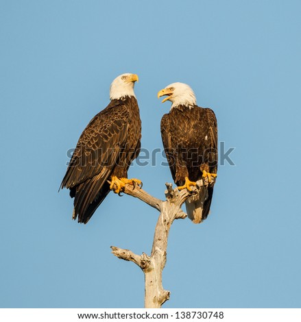 Two American Bald Eagles discussing the day - stock photo