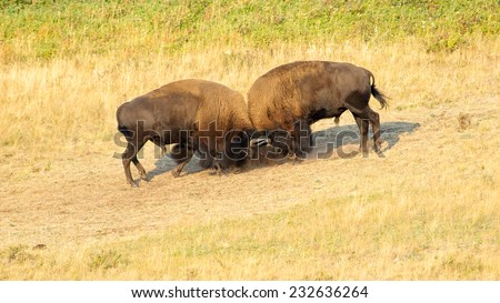 Two American Bison (Bison bison) fighting. Alberta, Canada, North America