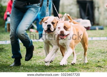 Two American Bulldog Dog Running Near Man In Green Grass.