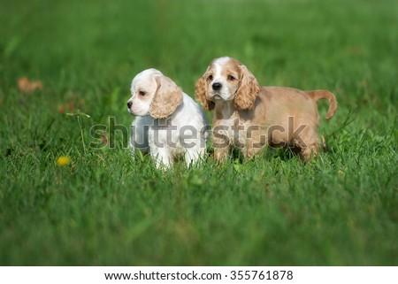 two american cocker spaniel puppies - stock photo