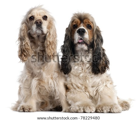 Two American Cocker Spaniels, 1 and 2 years old, in front of white background - stock photo