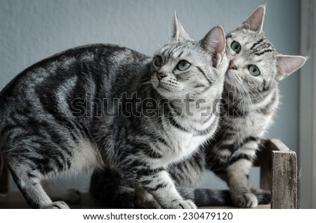 Two American Shorthair cats sitting on old wood shelf - stock photo