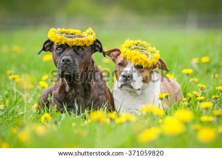 Two american staffordshire terrier dogs with a wreaths of flowers on their heads - stock photo